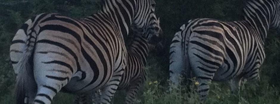 Zebras-Colt-Rear-HWE